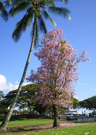 hawaiisakura.jpg